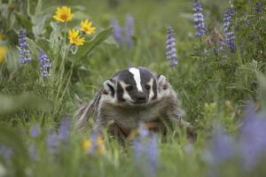 Badger in a Meadow, Montana, Usa by Tim Fitzharris