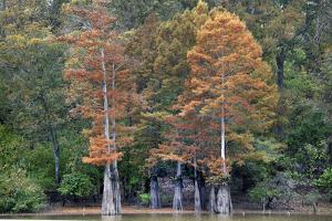 Bald Cypress along the White River, White River National Wildlife Refuge, Arkansas. by Tim Fitzharris
