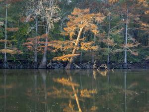 Bald Cypress, White River National Wildlife Refuge, Arkansas by Tim Fitzharris