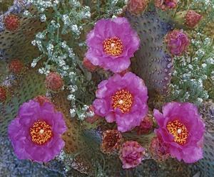 Beavertail Cactus flowering, Arizona by Tim Fitzharris