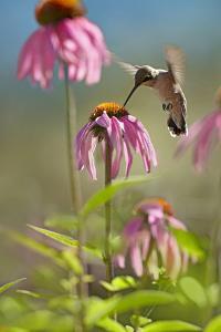Black-Chinned Hummingbird Feeding at a Coneflower by Tim Fitzharris