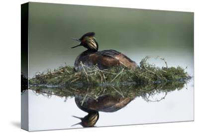 Black-necked Grebe calling while incubating eggs on floating nest, North America