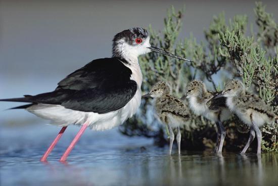 tim-fitzharris-black-winged-stilt-mother-with-three-chicks-camargue-france