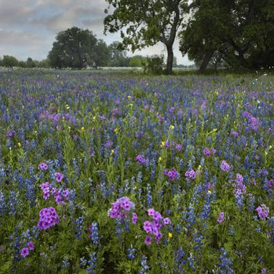 Bluebonnets and Pointed Phlox Meadow Near Pleasanton, Atascosa County, Texas, Usa by Tim Fitzharris