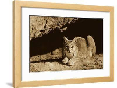Bobcat adult resting on rock ledge, North America - Sepia