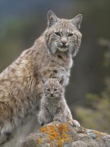 Bobcat mother and kitten, North America by Tim Fitzharris