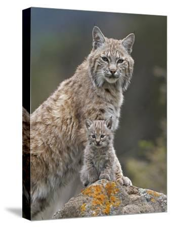Bobcat mother and kitten, North America
