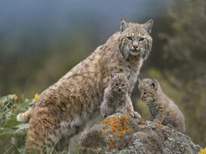 Bobcat mother and kittens, North America by Tim Fitzharris