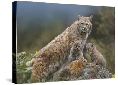 Bobcat mother and kittens, North America