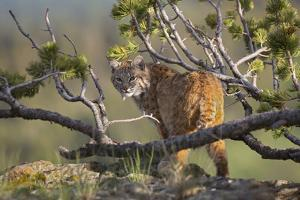 Bobcat on Lookout, Montana, Usa by Tim Fitzharris