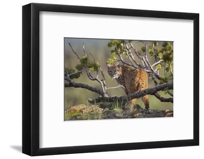 Bobcat on Lookout, Montana, Usa