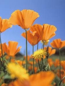 Bright Orange California Poppies, California Usa by Tim Fitzharris