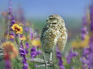 Burrowing Owl, New Mexico, Usa by Tim Fitzharris