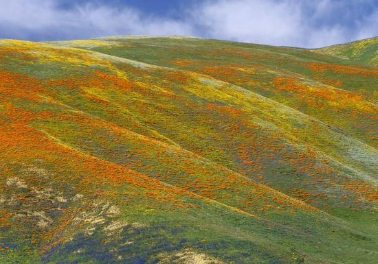tim-fitzharris-california-poppy-covered-hillside-spring-tehachapi-hills-near-gorman-california