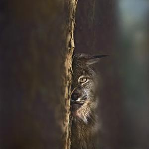 Canada Lynx, Montana, Usa by Tim Fitzharris