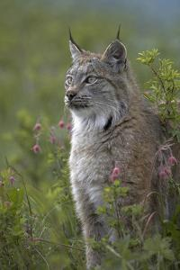 Canada Lynx Sitting Proud, Montana, Usa by Tim Fitzharris