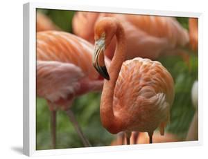 Caribbean Flamingo, Mexico by Tim Fitzharris