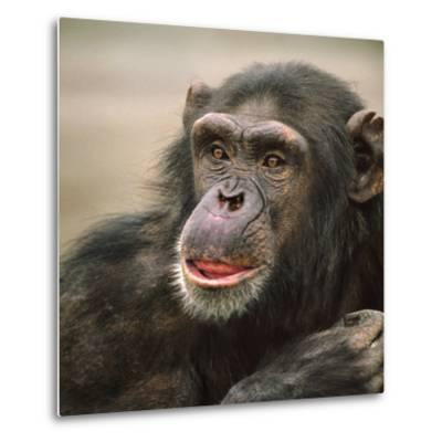 Chimpanzee Headshot, Kenya, Africa