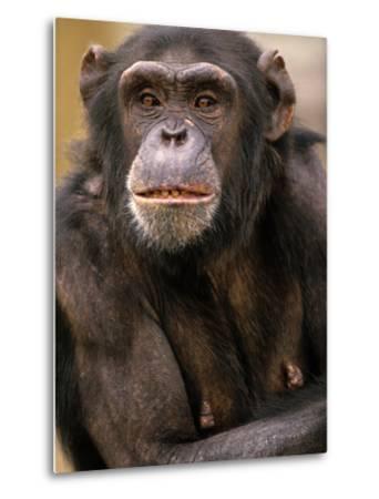 Chimpanzee Portrait, Kenya, Africa