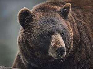 Cinnamon Black Bear. Montana, Usa by Tim Fitzharris