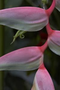 Close-Up of a Heliconia, Costa Rica by Tim Fitzharris