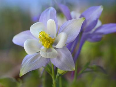 Close-Up of a Rocky Mountain Columbine, Colorado, Usa by Tim Fitzharris