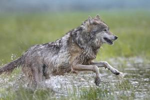 Close-Up of Gray Wolf Bounding, Summer, Montana by Tim Fitzharris