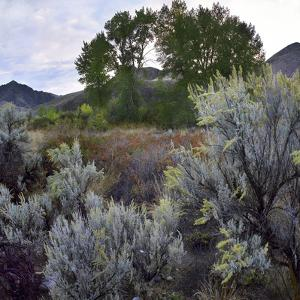 Close-Up of Sagebrush, Salmon River Mountains, Challis National Forest, Idaho, Usa by Tim Fitzharris