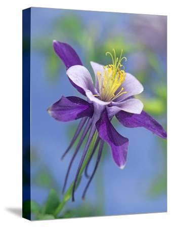 Colorado Blue Columbine close up of bloom, North America