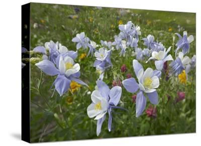 Colorado Blue Columbine flowers, American Basin, Colorado