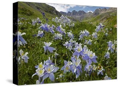 Colorado Blue Columbine flowers in American Basin, Colorado