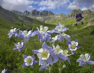 Colorado Blue Columbine meadow at American Basin, Colorado by Tim Fitzharris