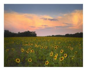 Common Sunflower field near Flint Hills National Wildlife Refuge, Kansas by Tim Fitzharris