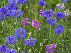 Cornflower and Pointed Phlox blooming in grassy field, North America by Tim Fitzharris