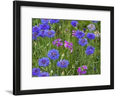 Cornflower and Pointed Phlox blooming in grassy field, North America