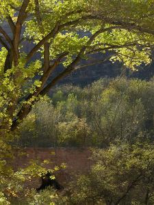 Cottonwood Tree, Havasu Canyon, Arizona, Usa by Tim Fitzharris