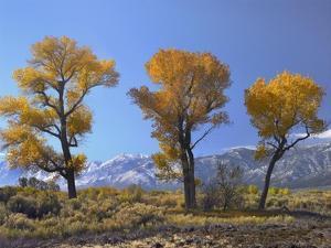 Cottonwood trees, fall foliage, Carson Valley, Nevada by Tim Fitzharris