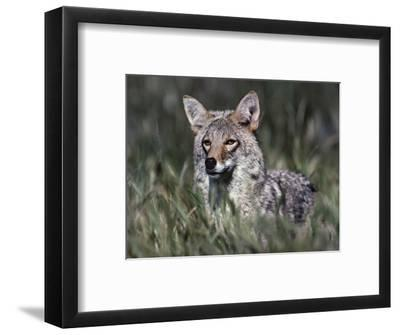 Coyote Standing in the Grass, Arizona, Usa