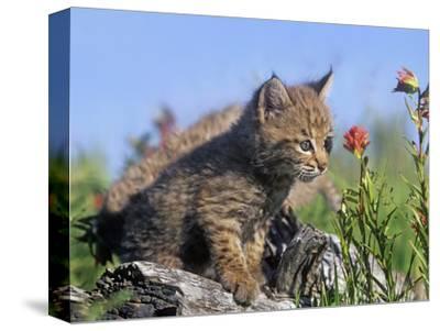 Curious Bobcat Kittens, Montana, Usa