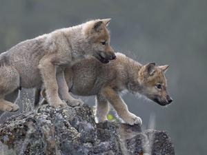 Curious Gray Wolf Pups, Montana by Tim Fitzharris