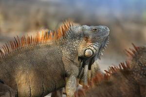 Dominant Male Green Iguana, Costa Rica by Tim Fitzharris