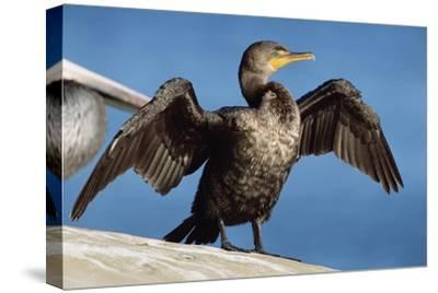 Double-crested Cormorant drying wings, California