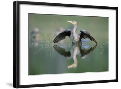 Double-crested Cormorant stretching its wings, North America