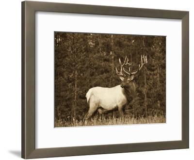 Elk or Wapiti male portrait, North America - Sepia