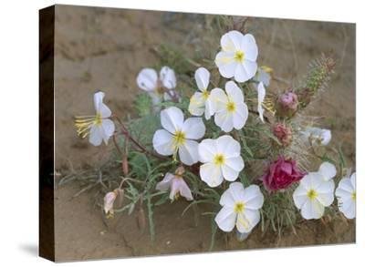 Evening Primrose with Grizzly Bear Cactus , North America