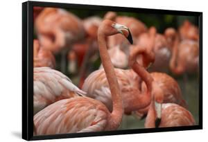Flock of Caribbean Flamingos, Singapore by Tim Fitzharris