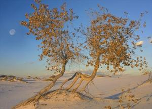 Fremont Cottonwood trees, White Sands National Monument, New Mexico by Tim Fitzharris