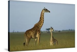 Giraffe adult and foal on savanna, Kenya by Tim Fitzharris