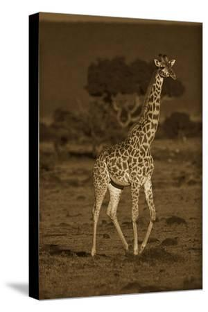 Giraffe portrait, Kenya - Sepia