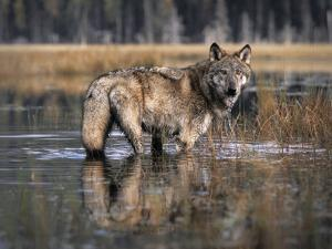 Gray Wolf in a Swamp Drinking the Water, Autumn, Montana by Tim Fitzharris